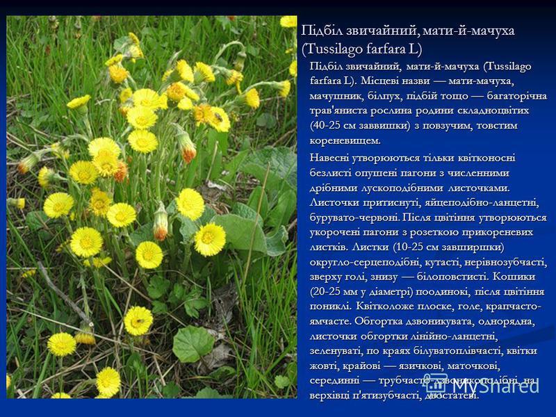 Підбіл звичайний, мати-й-мачуха (Tussilago farfara L) Підбіл звичайний, мати-й-мачуха (Tussilago farfara L). Місцеві назви мати-мачуха, мачушник, білпух, підбій тощо багаторічна трав'яниста рослина родини складноцвітих (40-25 см заввишки) з повзучим,