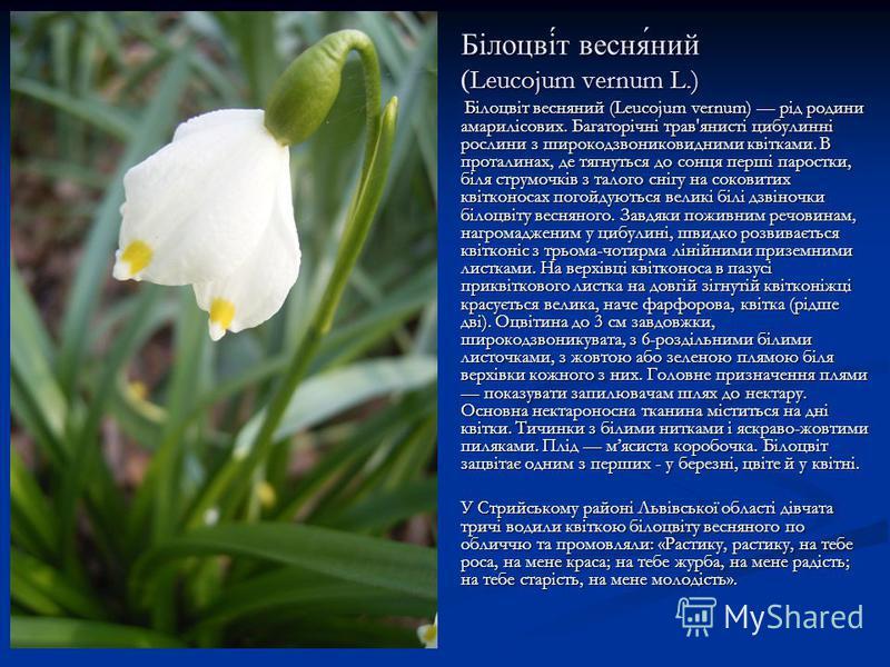 Білоцві́́т весня́ний ( Leucojum vernum L.) Білоцвіт весняний (Leucojum vernum) рід родини амарилісових. Багаторічні трав'янисті цибулинні рослини з широкодзвониковидними квітками. В проталинах, де тягнуться до сонця перші паростки, біля струмочків з