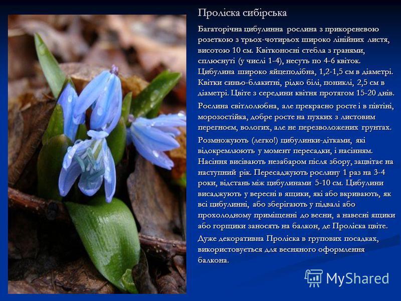 Проліска сибірська Багаторічна цибулинна рослина з прикореневою розеткою з трьох-чотирьох широко лінійних листя, висотою 10 см. Квітконосні стебла з гранями, сплюснуті (у числі 1-4), несуть по 4-6 квіток. Цибулина широко яйцеподібна, 1,2-1,5 см в діа