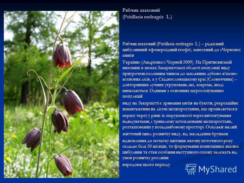 Рябчик шаховий (Fritillaria meleagris L.) Рябчик шаховий (Fritillaria meleagris L.) – рідкісний цибулинний ефемероїдний геофіт, занесений до «Червоної книги України» (Андрієнко і Чорней 2009). На Притисянській низовині в межах Закарпатської області п