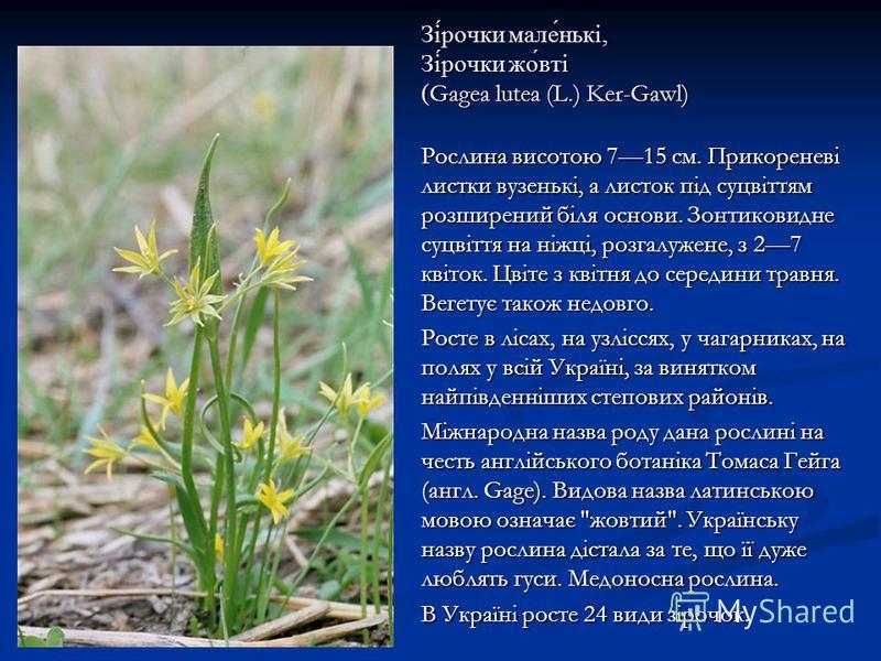 Зі́рочки мале́нькі, Зі́рочки жо́вті ( Gagea lutea (L.) Ker-Gawl) Рослина висотою 715 см. Прикореневі листки вузенькі, а листок під суцвіттям розширений біля основи. Зонтиковидне суцвіття на ніжці, розгалужене, з 27 квіток. Цвіте з квітня до середини