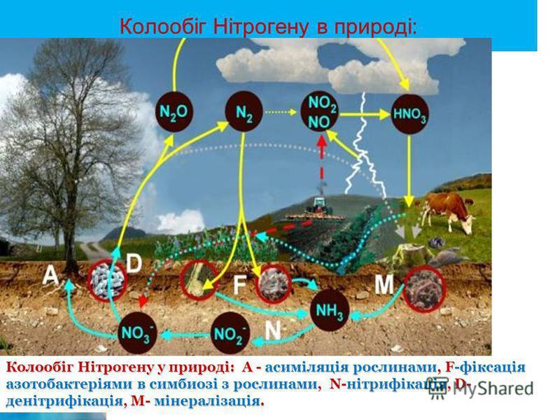 Колообіг Нітрогену в природі: Колообіг Нітрогену у природі: А - асиміляція рослинами, F-фіксація азотобактеріями в симбиозі з рослинами, N-нітрифікація, D- денітрифікація, М- мінералізація.