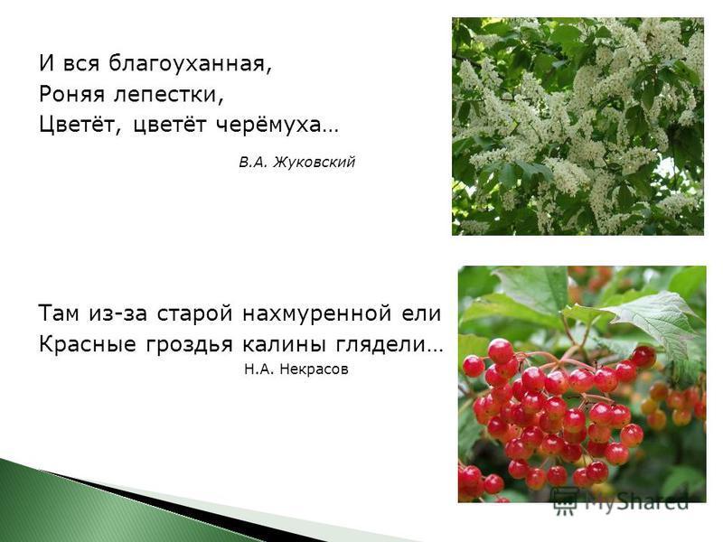 И вся благоуханная, Роняя лепестки, Цветёт, цветёт черёмуха… В.А. Жуковский Там из-за старой нахмуренной ели Красные гроздья калины глядели… Н.А. Некрасов