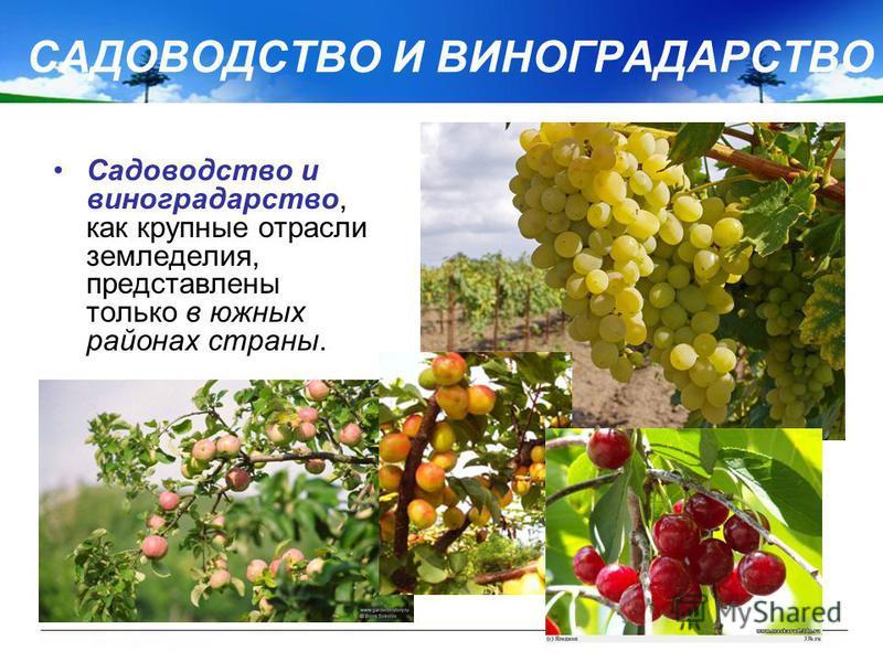 САДОВОДСТВО И ВИНОГРАДАРСТВО Садоводство и виноградарство, как крупные отрасли земледелия, представлены только в южных районах страны.