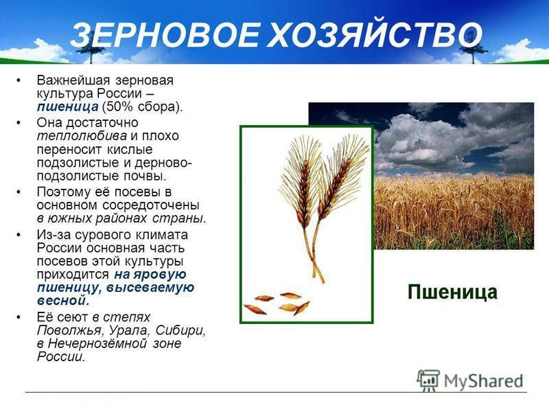 Важнейшая зерновая культура России – пшеница (50% сбора). Она достаточно теплолюбива и плохо переносит кислые подзолистые и дерново- подзолистые почвы. Поэтому её посевы в основном сосредоточены в южных районах страны. Из-за сурового климата России о