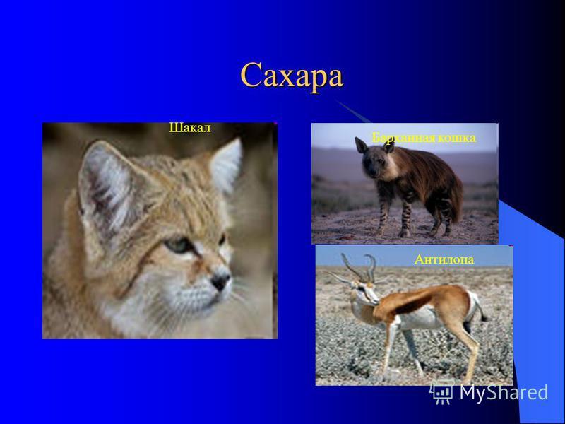 Сахара Шакал Барханная кошка Антилопа