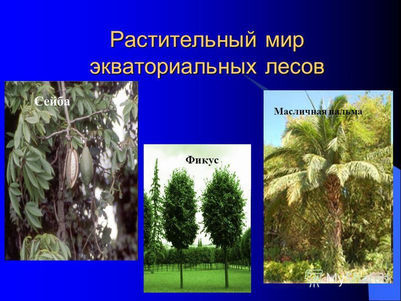 Растительный мир экваториальных лесов Сейба Фикус Масличная пальма