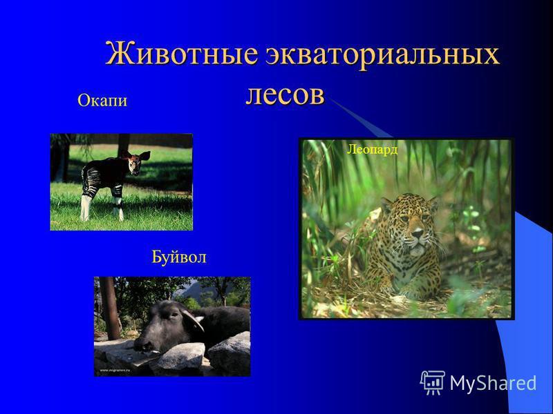 Животные экваториальных лесов Животные экваториальных лесов Окапи Буйвол Леопард