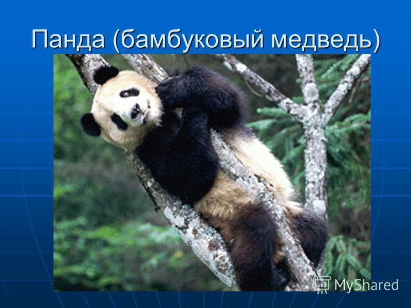 Панда (бамбуковый медведь)