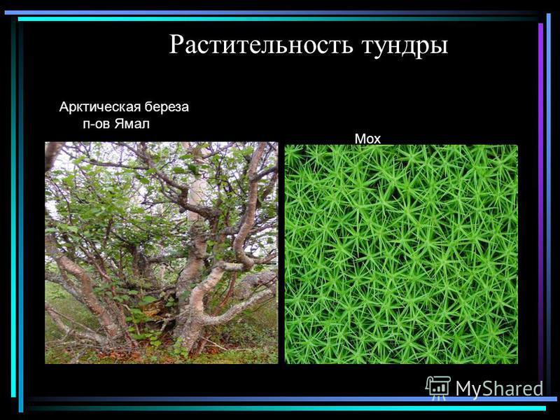 Растительность тундры Арктическая береза п-ов Ямал Мох