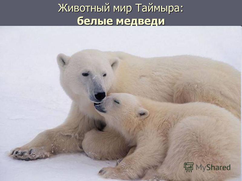 Животный мир Таймыра: белые медведи