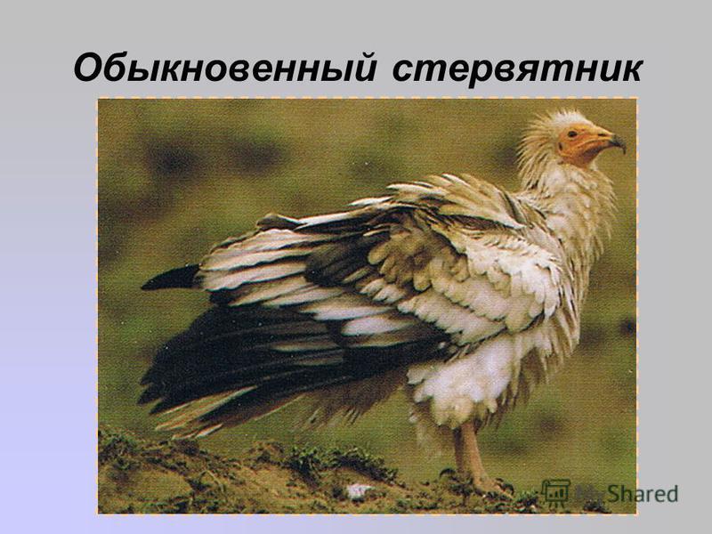 Обыкновенный стервятник