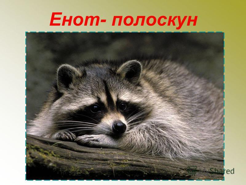 Енот- полоскун
