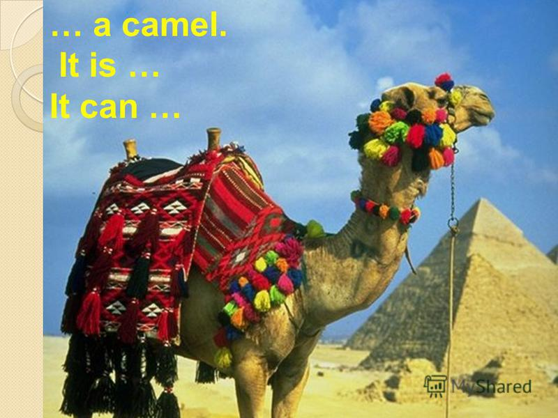 … a camel. It is … It can …