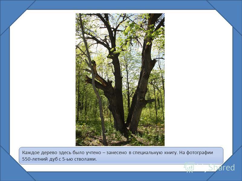 Каждое дерево здесь было учтено – занесено в специальную книгу. На фотографии 550-летний дуб с 5-ью стволами.