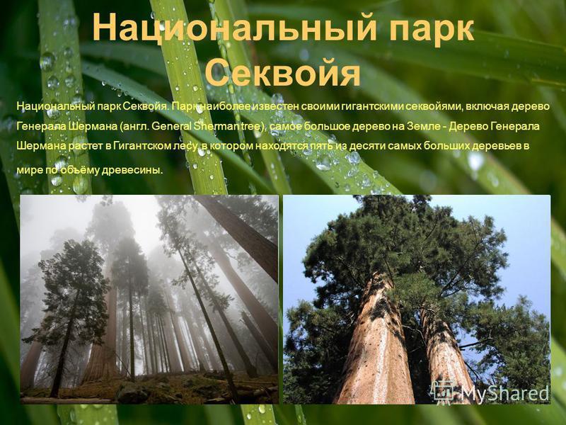 Национальный парк Секвойя Национальный парк Секвойя. Парк наиболее известен своими гигантскими секвойями, включая дерево Генерала Шермана (англ. General Sherman tree), самое большое дерево на Земле - Дерево Генерала Шермана растет в Гигантском лесу,