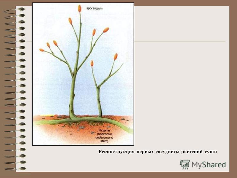Реконструкция первых сосудистых растений суши
