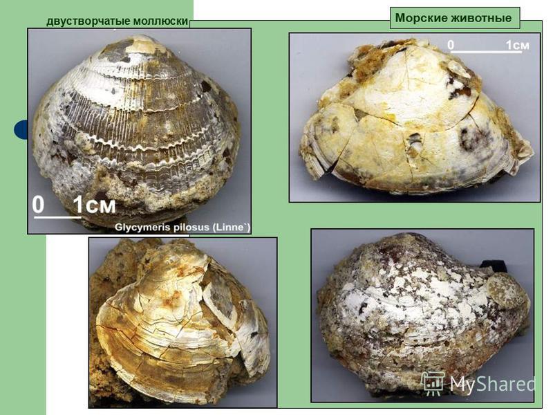 двустворчатые моллюски Морские животные