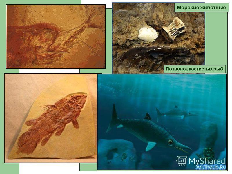 Морские животные Позвонок костистых рыб