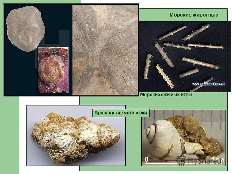 Морские животные Морские ежи и их иглы Брюхоногие моллюски