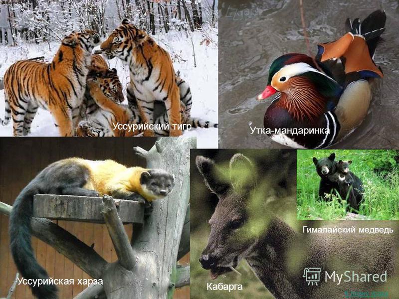 Уссурийский тигр Уссурийская харза Утка-мандаринка Кабарга Гималайский медведь К плану урока