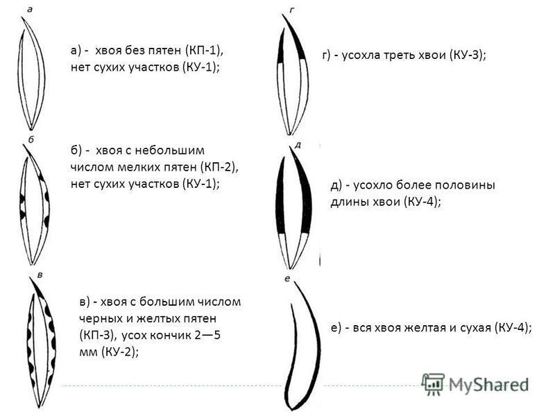 а) - хвоя без пятен (КП-1), нет сухих участков (КУ-1); б) - хвоя с небольшим числом мелких пятен (КП-2), нет сухих участков (КУ-1); в) - хвоя с большим числом черных и желтых пятен (КП-З), усох кончик 25 мм (КУ-2); г) - усохла треть хвои (КУ-З); д) -