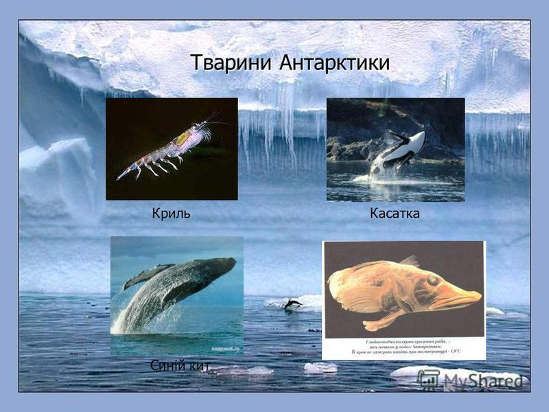 Тварини Антарктики КрильКасатка Синій кит