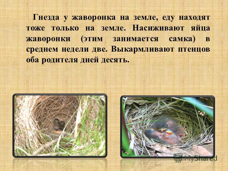 Гнезда у жаворонка на земле, еду находят тоже только на земле. Насиживают яйца жаворонки (этим занимается самка) в среднем недели две. Выкармливают птенцов оба родителя дней десять.