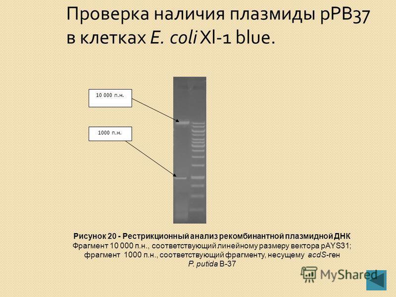 BamHI EcoRI BamHI EcoRI лигирование отбор на Sm R pРВ37 11.0 п.н. Рисунок 19 - Схема пере клонирования фрагмента, несущего acdS-ген из плазмиды pTKAСCL7 в вектор широкого круга хозяев pAYS31