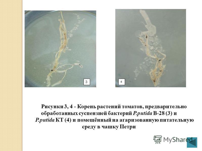 12 Рисунки 1,2 - Корень растений томатов, предварительно обработанных суспензией бактерий P.putida В-27 (1) и P.putida В-37(2), соответственно, и помещённый на газированную питательную среду в чашку Петри Определение ризосферной локализации бактерий
