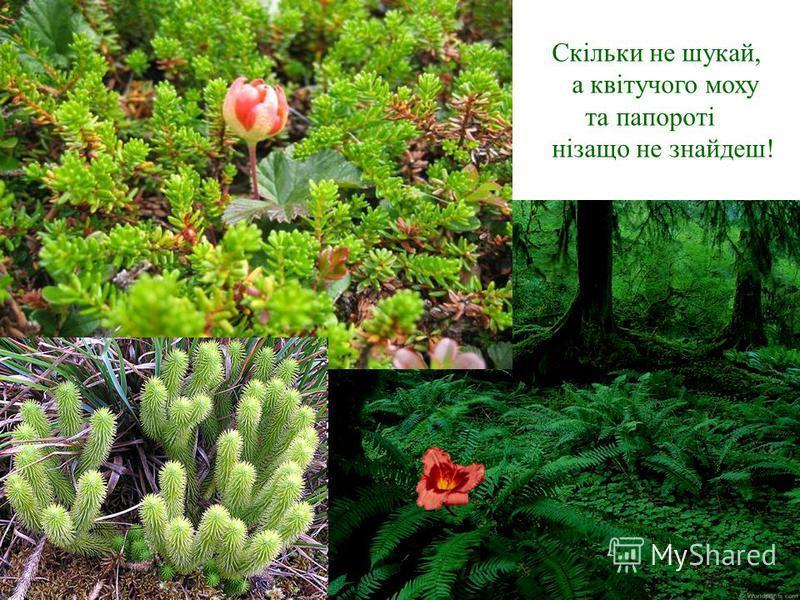 Скільки не шукай, а квітучого моху та папороті нізащо не знайдеш!