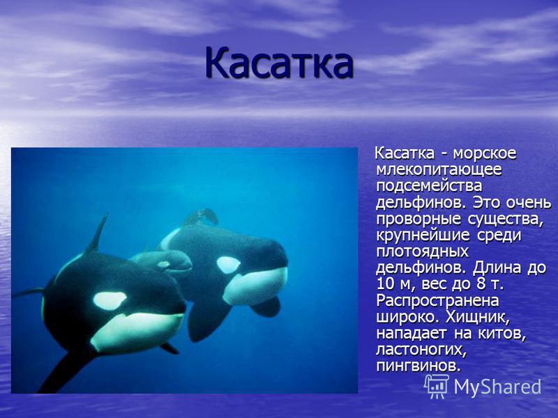 Касатка Касатка - морское млекопитающее подсемейства дельфинов. Это очень проворные существа, крупнейшие среди плотоядных дельфинов. Длина до 10 м, вес до 8 т. Распространена широко. Хищник, нападает на китов, ластоногих, пингвинов. Касатка - морское