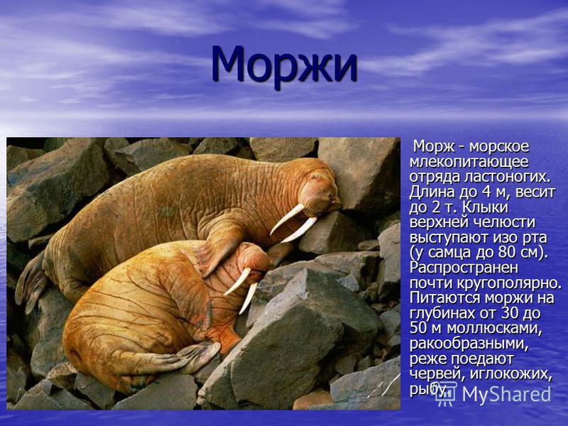Моржи Морж - морское млекопитающее отряда ластоногих. Длина до 4 м, весит до 2 т. Клыки верхней челюсти выступают изо рта (у самца до 80 см). Распространен почти кругополярной. Питаются моржи на глубинах от 30 до 50 м моллюсками, ракообразными, реже