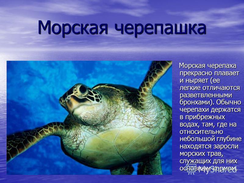 Морская черепашка Морская черепаха прекрасно плавает и ныряет (ее легкие отличаются разветвленными бронхами). Обычно черепахи держатся в прибрежных водах, там, где на относительно небольшой глубине находятся заросли морских трав, служащих для них осн