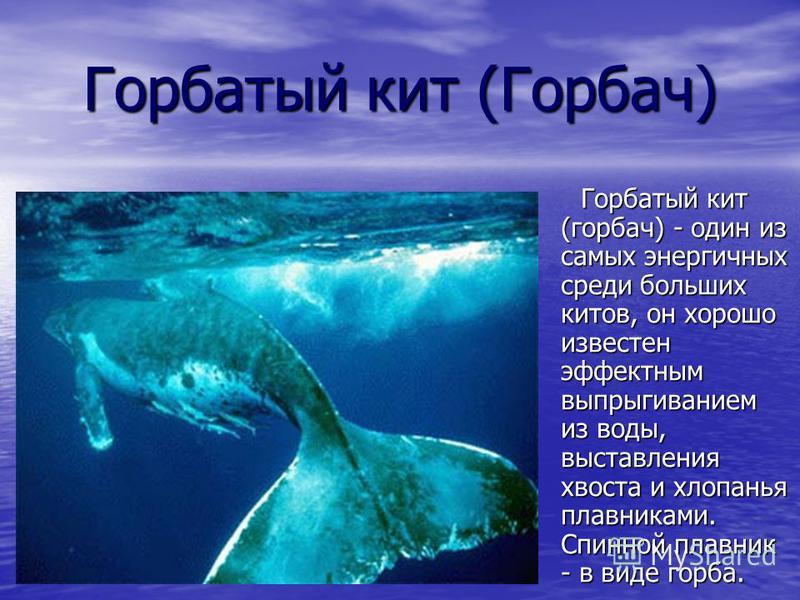 Горбатый кит (Горбач) Горбатый кит (горбач) - один из самых энергичных среди больших китов, он хорошо известен эффектным выпрыгиванием из воды, выставления хвоста и хлопанья плавниками. Спинной плавник - в виде горба. Горбатый кит (горбач) - один из