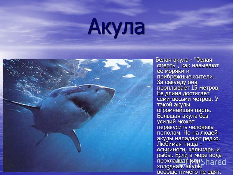 Акула Белая акула -