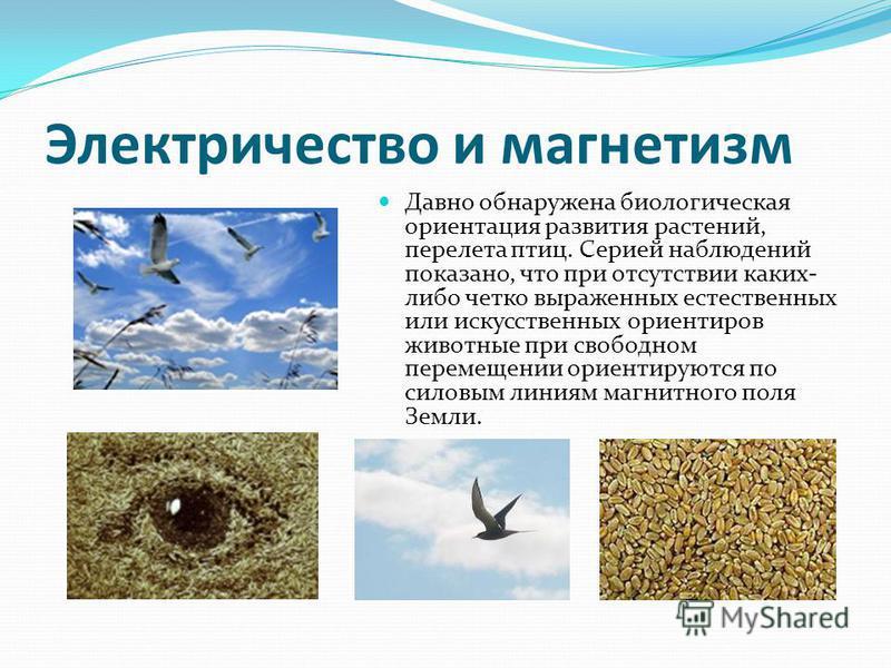 Электричество и магнетизм Давно обнаружена биологическая ориентация развития растений, перелета птиц. Серией наблюдений показано, что при отсутствии каких- либо четко выраженных естественных или искусственных ориентиров животные при свободном переме
