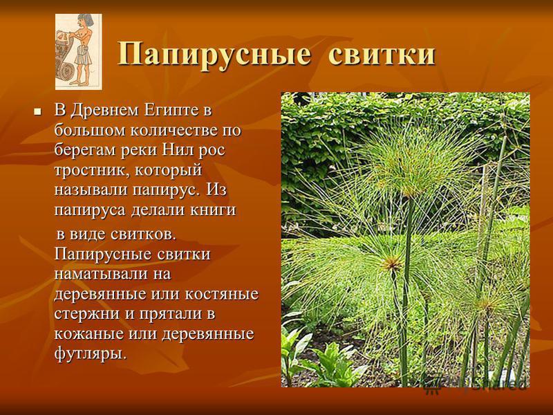 Папирусные свитки В Древнем Египте в большом количестве по берегам реки Нил рос тростник, который называли папирус. Из папируса делали книги В Древнем Египте в большом количестве по берегам реки Нил рос тростник, который называли папирус. Из папируса