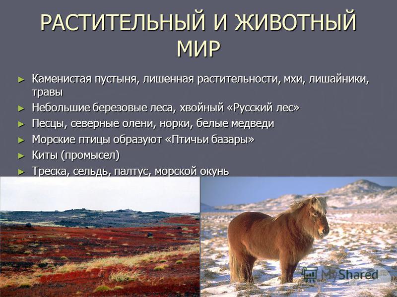 РАСТИТЕЛЬНЫЙ И ЖИВОТНЫЙ МИР Каменистая пустыня, лишенная растительности, мхи, лишайники, травы Каменистая пустыня, лишенная растительности, мхи, лишайники, травы Небольшие березовые леса, хвойный «Русский лес» Небольшие березовые леса, хвойный «Русск