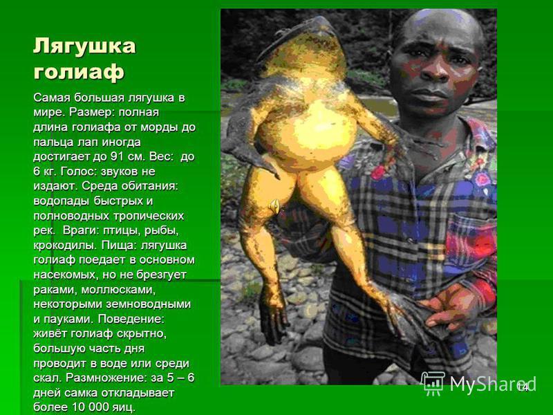 13 Стеклянная или прозрачная лягушка – так называемая из-за своей прозрачной кожи, сквозь которую можно увидеть ее внутренности. К сожалению, это вымирающий вид амфибий.