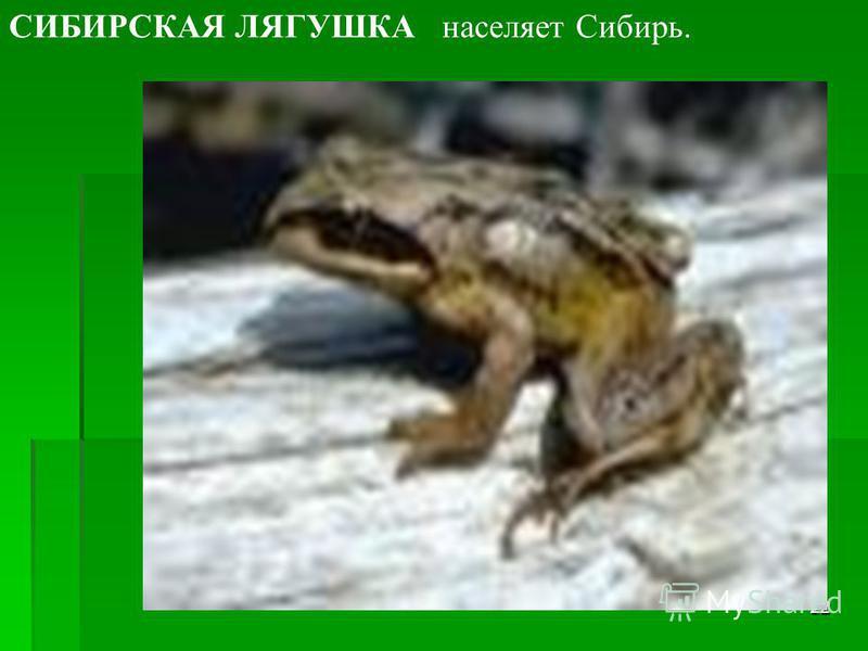 21 ОЗЕРНАЯ ЛЯГУШКА живет по всей Европе, в России. Максимальная длина 17 см.