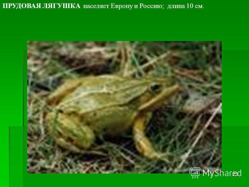 22 СИБИРСКАЯ ЛЯГУШКА населяет Сибирь.