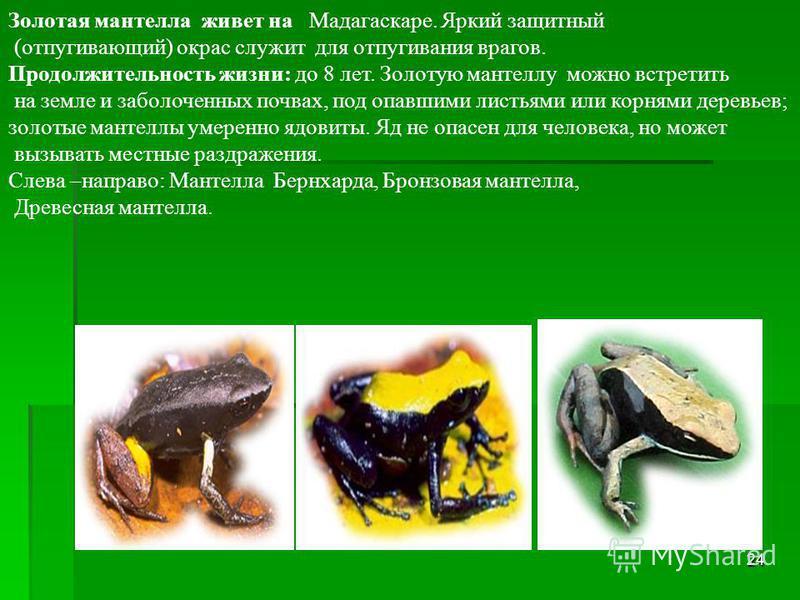 23 ПРУДОВАЯ ЛЯГУШКА населяет Европу и Россию; длина 10 см.