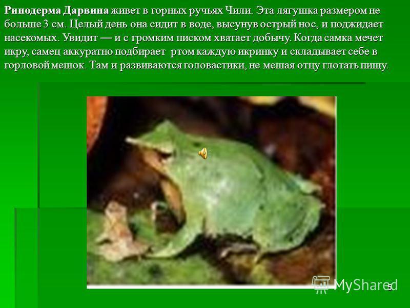 4 Бесхвостые земноводные. Лягушек очень много, они все разные, но, в общем, похожи: туловище короткое, шеи, хвоста и наружных ушей нет, задние ноги в два- три раза длиннее передних. Передвигаются прыжками. Мечут в воде икринки, из них выводятся голов
