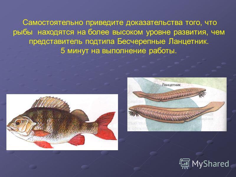 Самостоятельно приведите доказательства того, что рыбы находятся на более высоком уровне развития, чем представитель подтипа Бесчерепные Ланцетник. 5 минут на выполнение работы.