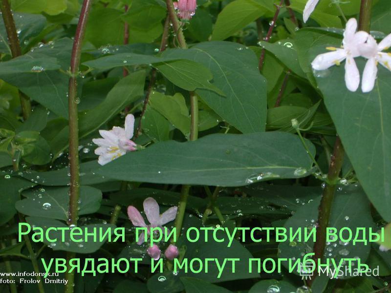 Растения при отсутствии воды увядают и могут погибнуть