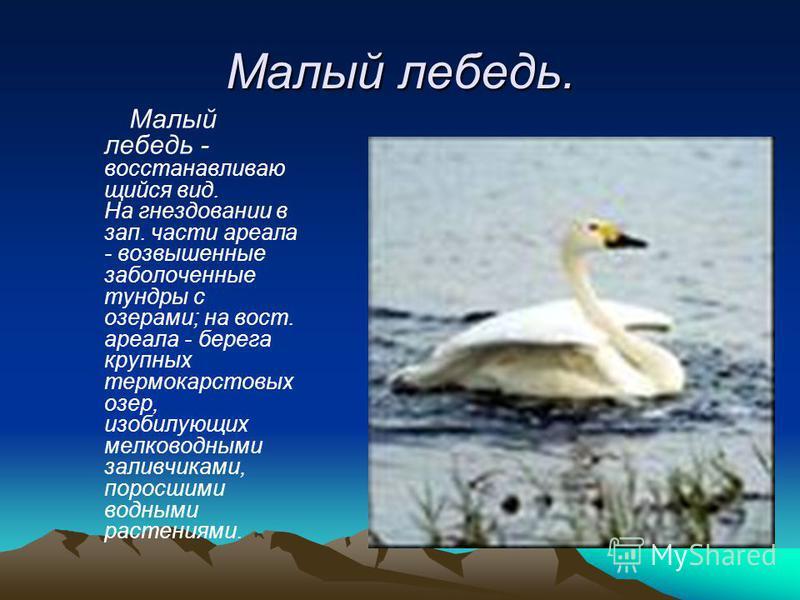 Малый лебедь. Малый лебедь - восстанавливаю щийся вид. На гнездовании в зап. части ареала - возвышенные заболоченные тундры с озерами; на вост. ареала - берега крупных термокарстовых озер, изобилующих мелководными заливчиками, поросшими водными расте