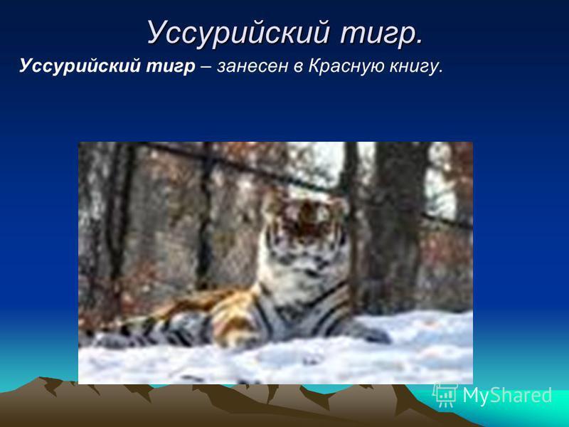 Уссурийский тигр. Уссурийский тигр – занесен в Красную книгу.