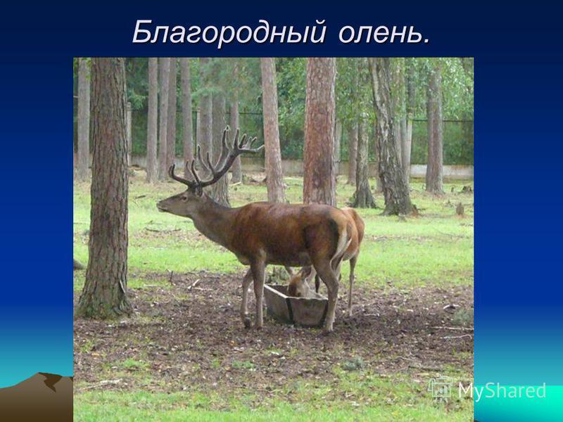 Благородный олень.