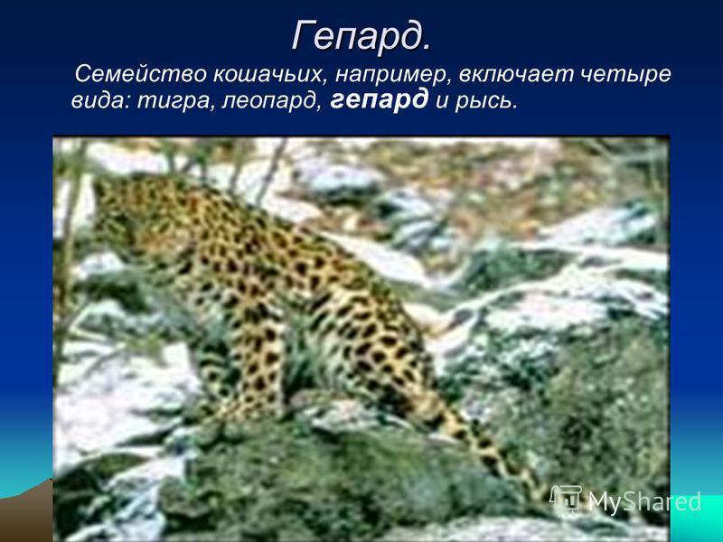 Гепард. Семейство кошачьих, например, включает четыре вида: тигра, леопард, гепард и рысь.